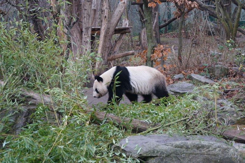 Panda no Zoo de Viena