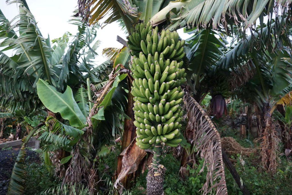 Plantação de bananeiras.